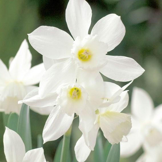 Narcissus Thalia(5)