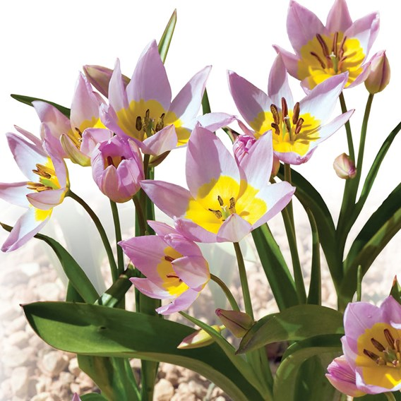 Tulip Bakeri Lilac Wonder(7)
