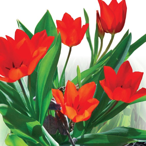 Tulip Praestans Zwanenburg(7)