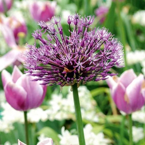 Allium Bulbs - Purple Sensation (5)