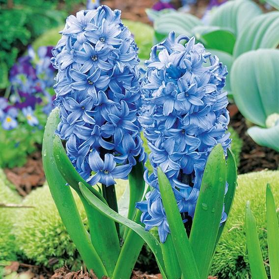 Hyacinth Blue Star(3)