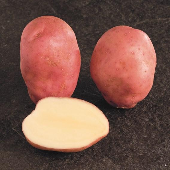 Seed Potatoes Organic Sunset
