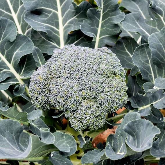 Autumn Broccoli -  Green Sprouting Organic (10 Plants)