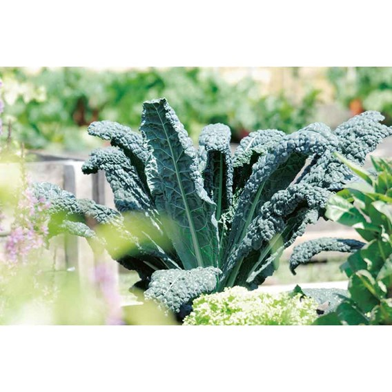 Autumn Kale -  Nero Di Toscana Organic (10 Plants)