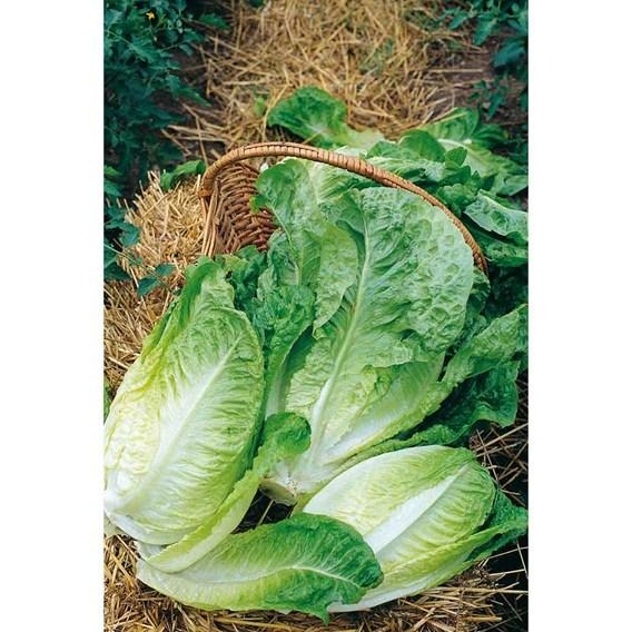 Autumn Lettuce - Winter Density Organic (10 Plants)