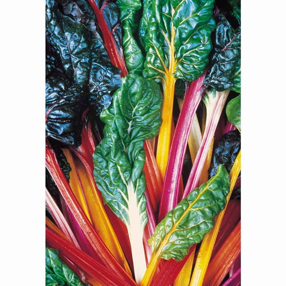Autumn Chard - Bright Lights Organic (10 Plants)