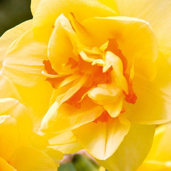 Narcissus Tahiti(5)