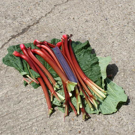 Rhubarb Crowns - Fulton's Strawberry Surprise