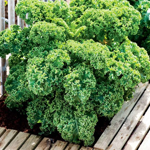 Kale (Borecole) Green Curled Dwarf (12)