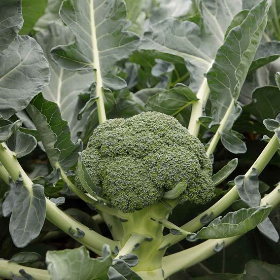 Broccoli Monclano (12)