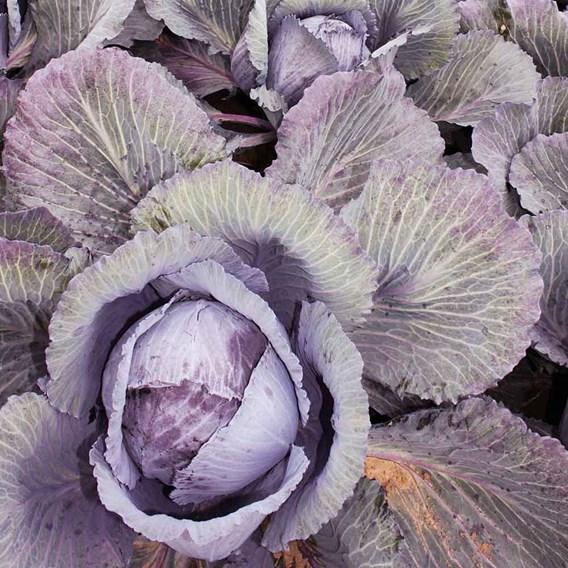 Cabbage Lodero (22)