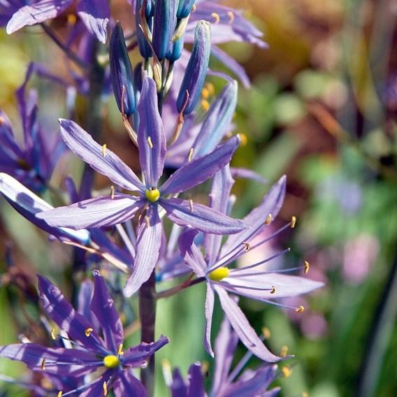 Camassia Bulbs - leichtlinii Caerulea (2)