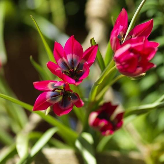 Tulip Little Beauty(7)