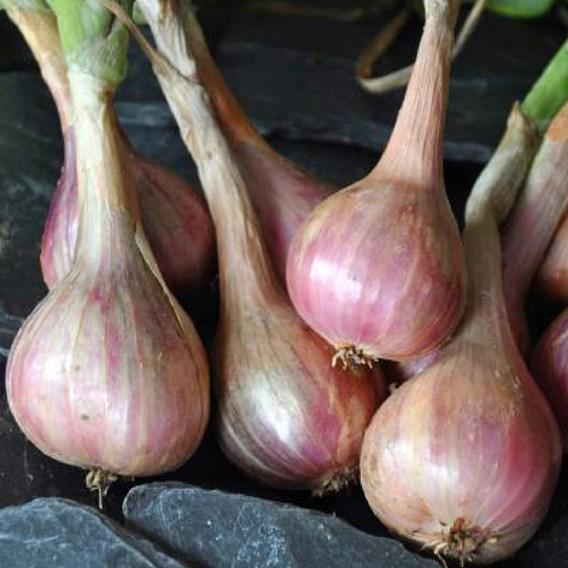 Shallot (Organic) - Meloine