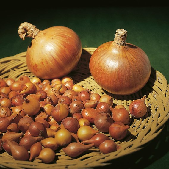 Onion Sets (Organic) - Sturon