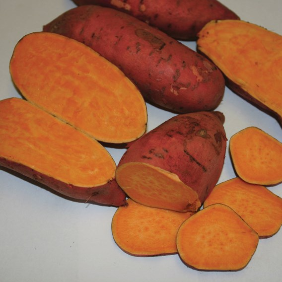 Sweet Potato - Carolina Ruby
