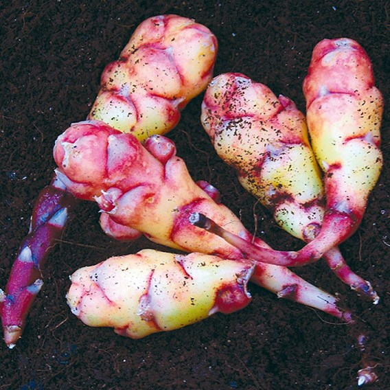 Oca (New Zealand Yam) Tubers - Red / White