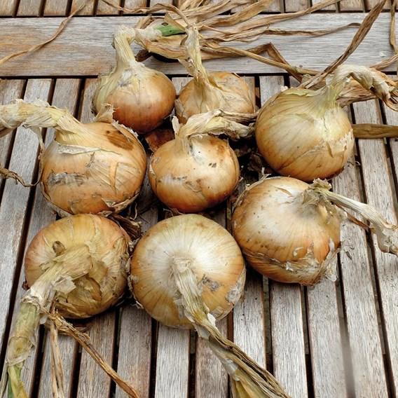 Onion Sets (Organic) - Santero F1