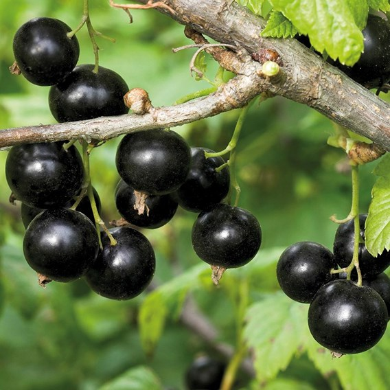 Blackcurrant Plants - Ben Gairn