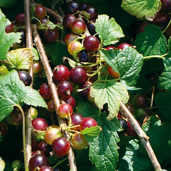 Blackcurrant Plant (Organic) - Ben Hope