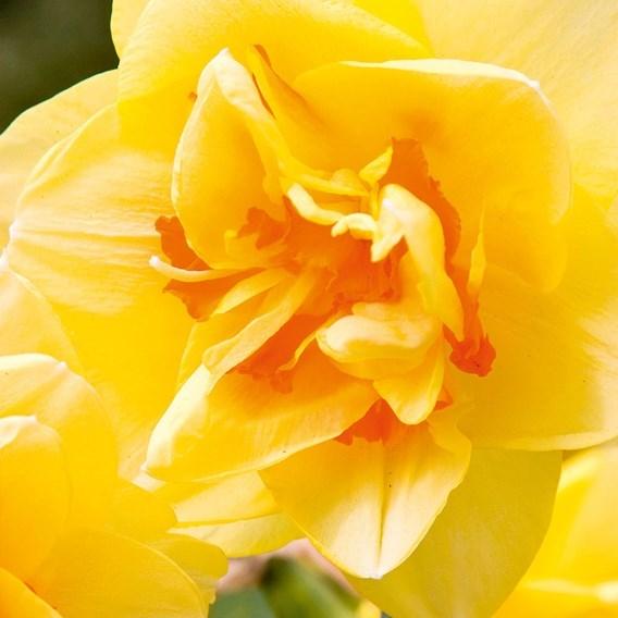Narcissus (Organic) Bulbs - Tahiti
