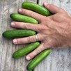 Cucumber Green Fingers (3)