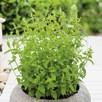 Herb Plant - Mint Strawberry