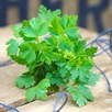 Herb Plant - Parsley Flat Leaf