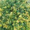 Herb Plant - Thyme (Lemon) Doone Valley
