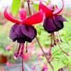 Fuchsia New Millennium (6)