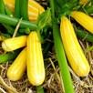 Courgette Plants - Goldmine