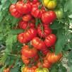Tomato Grafted Belriccio (3)