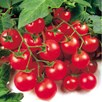 Tomato Grafted Gardeners Delight (3)