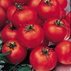 Tomato Grafted Shirley (3)