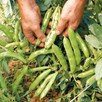 Broad Bean The Sutton (12)