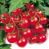 Tomato Grafted Gardeners Delight (1) P10