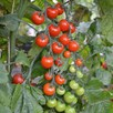 Tomato Grafted Sweet Petit (1) P10
