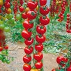 Tomato Grafted Sweet Petit (3)