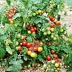 Tomato Grafted Lizzano (1) P10