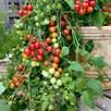 Tomato Grafted Lizzano (3)