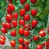Tomato Grafted Aviditas (1) P10