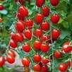 Tomato Grafted Aviditas (3)