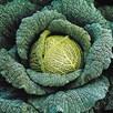 Cabbage Traviata (6) P9