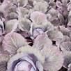 Cabbage Lodero (6) P9