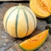 Melon Grafted Alvaro (3)