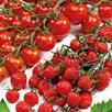 Tomato Grafted Sugar Plum Raisin (3)