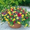 Calibrachoa Carnival Mixed (6)