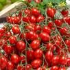 Tomato Grafted Tutti Frutti Collection (3) P10