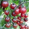 Tomato Grafted Rosella (1) P10