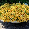 Super Petunia (beautical) Caramel Yellow (6)
